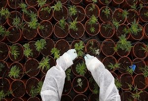 U.S. firms target investment in Israeli cannabis R&D