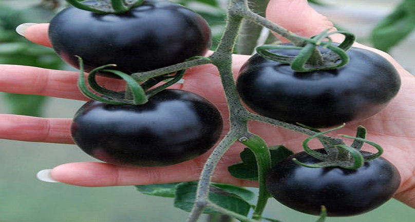 Black Tomatoes: Latest Colour Swap Food Craze – EMTV Online
