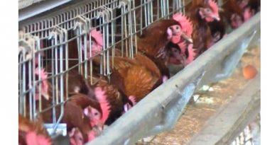 chicken_egg_layers