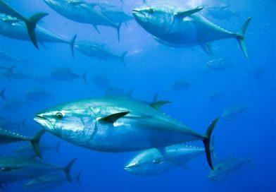 TunaNomics: The Business of Tuna