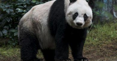 Giant panda Jia Jia, looks on at the Hong Kong Ocean Park, China July 9, 2015. REUTERS/Tyrone Siu
