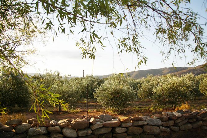 South Africa's extra virgin olive oils are beginning to turn global heads. Credit: Courtesy of Lettas Kraal