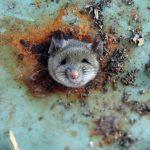 Diseased rat urine kills New Yorker in outbreak of rare illness