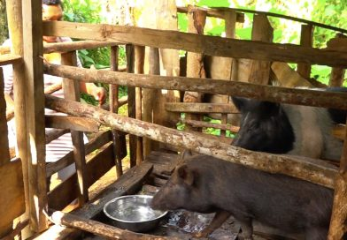 Pigs, an Indication of Wealth and Status in PNG