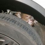 Koala survives 16 km drive trapped under 4WD