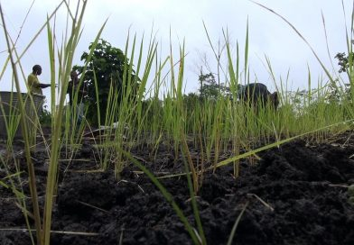 Rice Story: Growing rice to cut down on imports