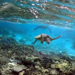 Warmer temperatures at Great Barrier Reef causing sea turtles to be born female