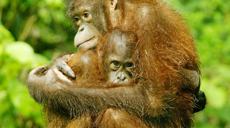 Startling orangutan population decline recorded in Borneo