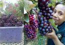 Grapes Grown and Harvested in Jiwaka