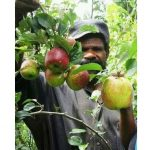 Farmers Defying Suggestions that Apples Can't Be Grown in PNG