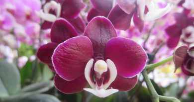 Humble Orchids' Contribution to Papua New Guinea's Biological Diversity